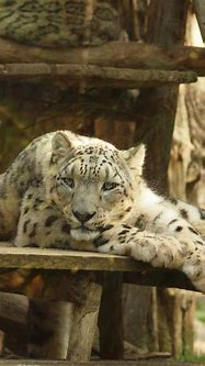 White Tiger Sleep In Amneville Zoo Stock Image - Image of ...