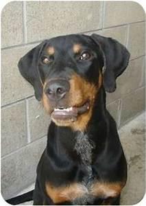 Rambo | Adopted Puppy | 000582 | Lake Odessa, MI ...