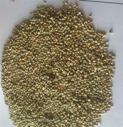 pearl millet seeds pure pearl millet seeds hybrid pearl