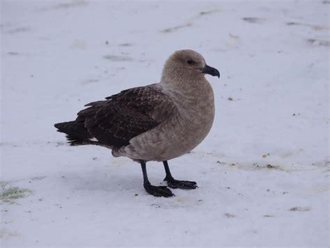 south polar skua  zealand birds