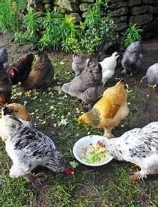 Fréquence Ponte Poule : l ortie pour les poules et les volailles poules oiseaux de la nature pinterest keeping ~ Melissatoandfro.com Idées de Décoration