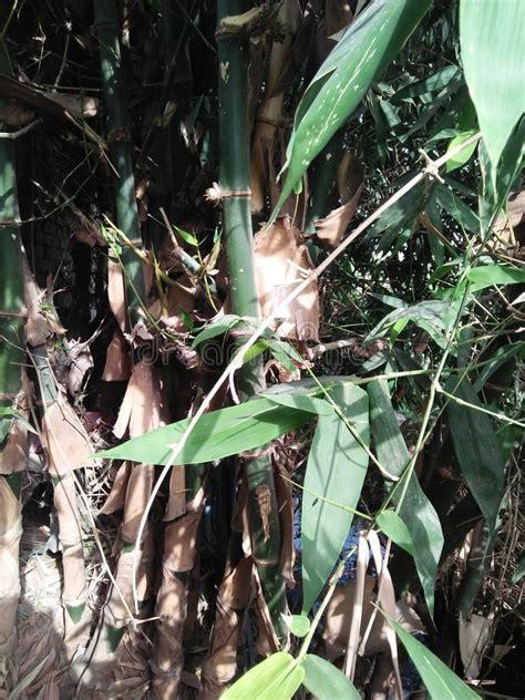 grouper bambous genre grand masse compacte est froid climate