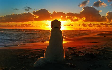 dog sunset beach waves clouds depth  field wallpapers hd