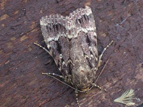 calling  moth experts  creatures wildlife