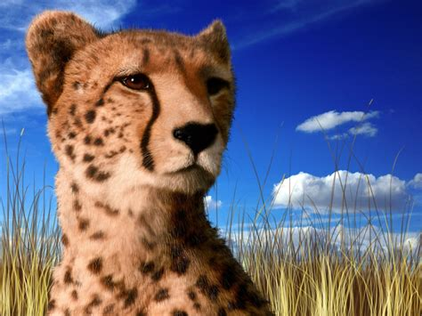 cheetah facts  pictures