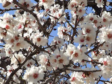 kirschbluete hintergrundbilder kostenlos fruehling