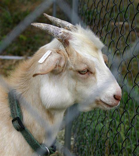 goat diseases goat diseases