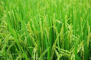Green Rice Plant Field Free Image