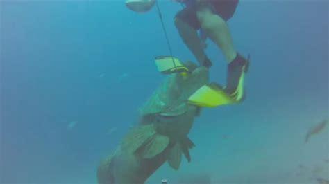 grouper goliath diver