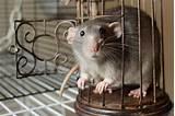 The Hooded Rat - Understanding Pet Fancy Rats
