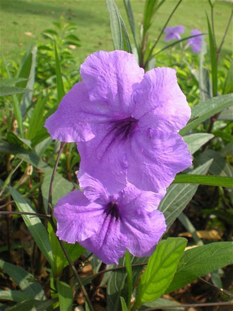 flowers petunias petunia flowers petunia flower pictures meanings