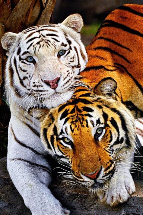Funny Cute Tiger Pictures Images Photos