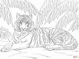 Coloring Tiger Pages Adult Tigers Sumatran Adults Down Laying Drawing Cub Printable Colouring Supercoloring Snow Animals Super Drawings Animal Step sketch template