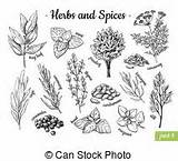 Spices Herbs Vector Drawn Drawing Illustration Clip Hand Botanical Sketches Engraved Condiment Flavor Oregano Circle Royalty Herb Seasonings Label Basil sketch template