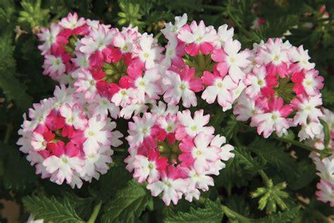verbena flower lanai 174 twister pink verbena proven winners