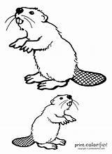 Beaver Coloring Beavers Sketch Template sketch template