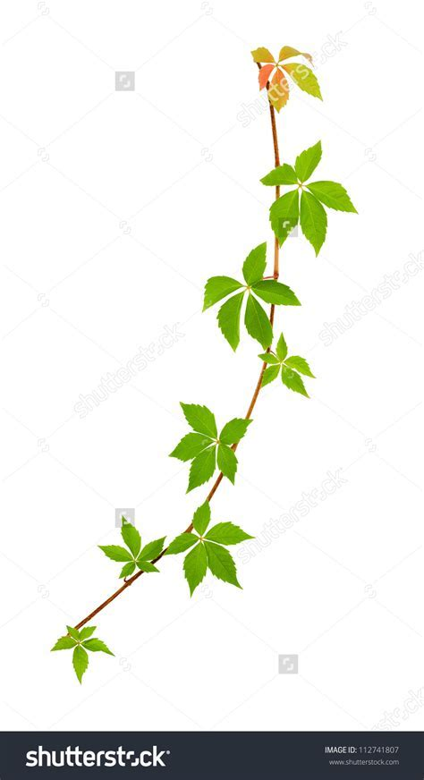 Climbing plant clipart   Clipground