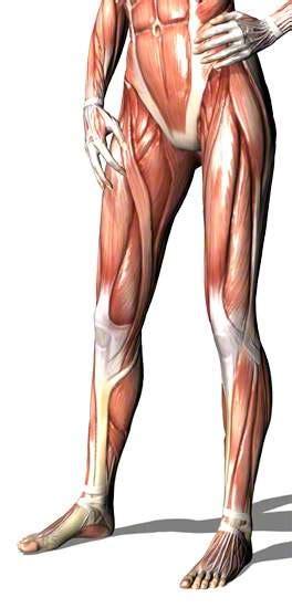 beinmuskulatur beinmuskeln unterschenkelmuskulatur
