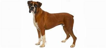 Dog Selling Breeds Boxer