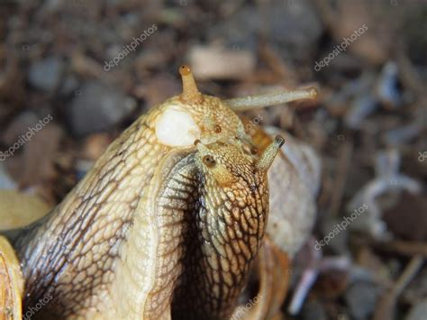 Two Big Snails Have A Sex Very Closeup View To Snail