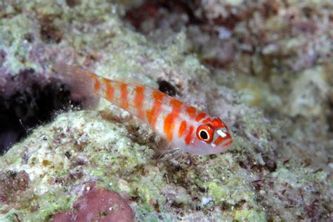 Candycane Pygmy Goby Trimma Cana This Species Is Quite