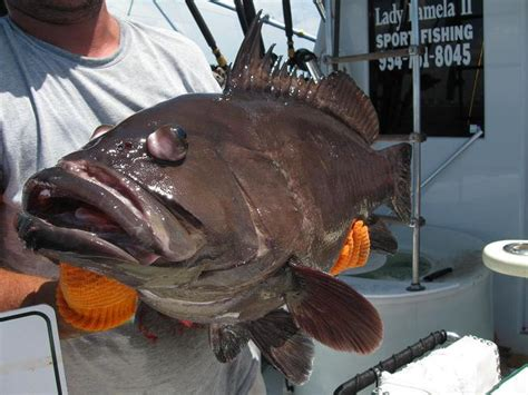 grouper goliath fishing cook catch