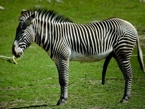 Zebra wallpaper, zebra wallpapers  automotive lux