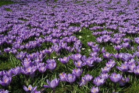 how to plant crocus