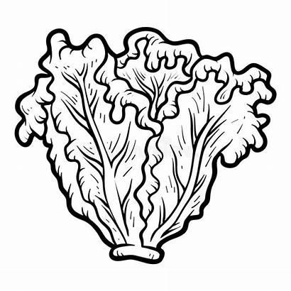 Lettuce Coloring Clip Clipart Alface Colorir Laitue