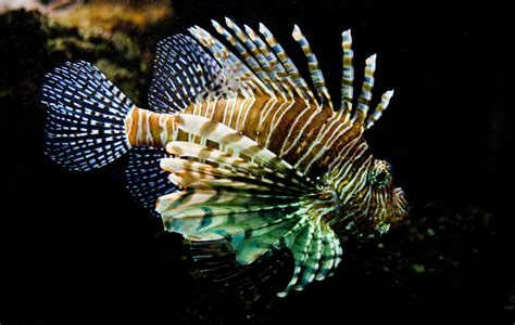 Pterois volitans II by jo-i on DeviantArt
