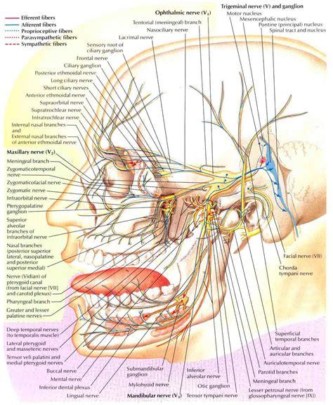 trigeminal nerve schema neurology nerve anatomy trigeminal neuralgia anatomy