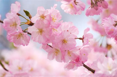 Cherry Blossom Image by Free Cherry Blossom Wallpapers Branch Brook Park