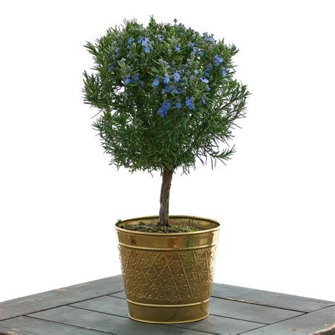rosemary topiary rosemary topiary ball housewarming by occasion givingplants com