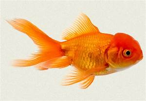 Red Fantail Fancy Goldfish | Tropicali