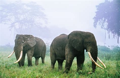 tanzanias elephants disappearing
