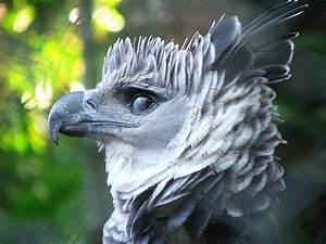 The Harpy Eagle Eats Monkeys For Breakfast