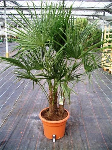 Zimmerpflanzen Portraet Schraubenbaum by Trachycarpus Hanfpalme Zimmerblumen