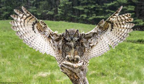 horned owl flying › Animals