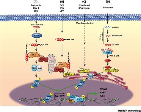 crosstalk  cytoplasmic rig   sting sensing