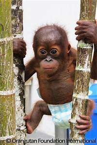 17 Best images about Orangutan on Pinterest   Orphan ...