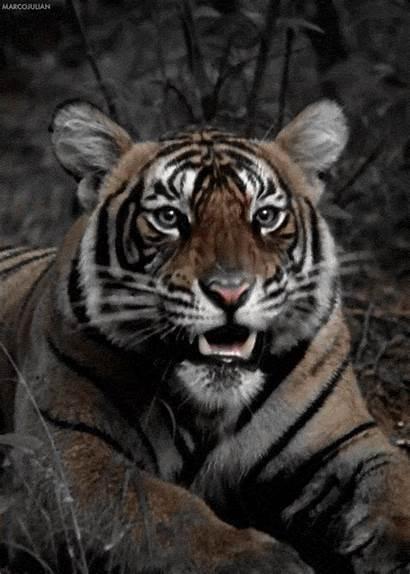 Tiger Roar Wildlife Hear Am Gifs Tenor