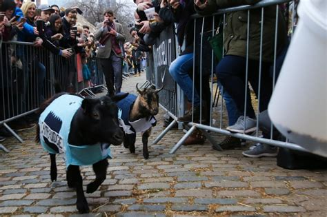 Watch The Boat Race by Why Watch The Boat Race When You Can Watch The Goat Race