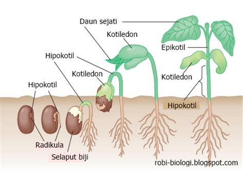 germinasi perkecambahan biji belajar biologi