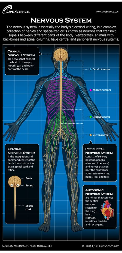 human nervous system diagram   works  science