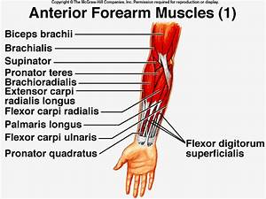 Muscles Acting on the Wrist, Hand, or Digits - Biomedical ...