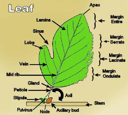 Leaf Part Diagram by Lamina