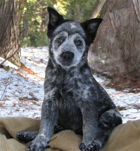 border collie blue heeler dog breed info dog breeds picture