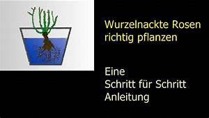 Pflanzkübel Für Rosen : wurzelnackte rosen richtig pflanzen schritt f r schritt ~ A.2002-acura-tl-radio.info Haus und Dekorationen