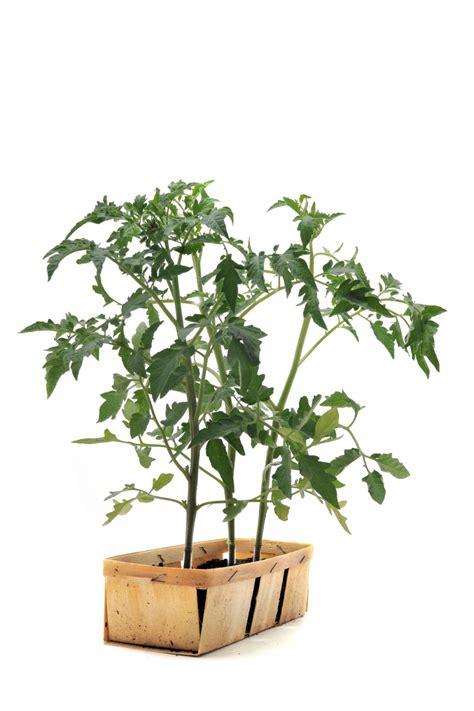 growing flowers indoors growing tomatoes indoors hgtv