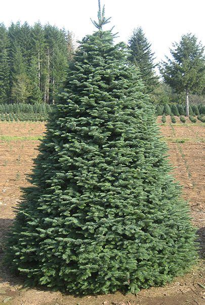 noble pine christmas tree noble fir olympic christmas trees 1514